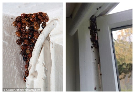 Ladybirds in houses over winter