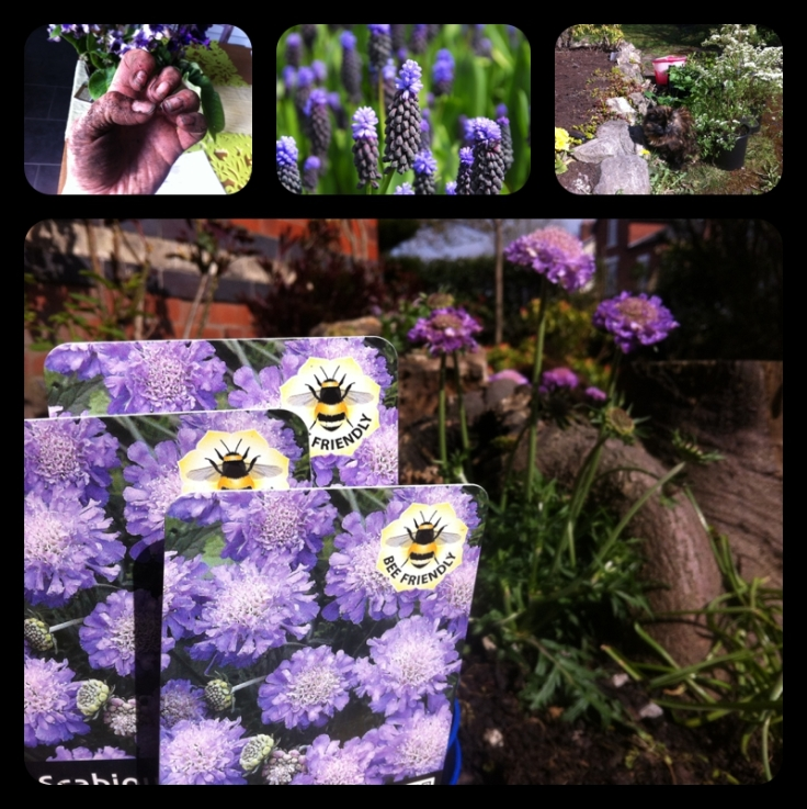 Scabious Blue Butterfly bee friendly plants