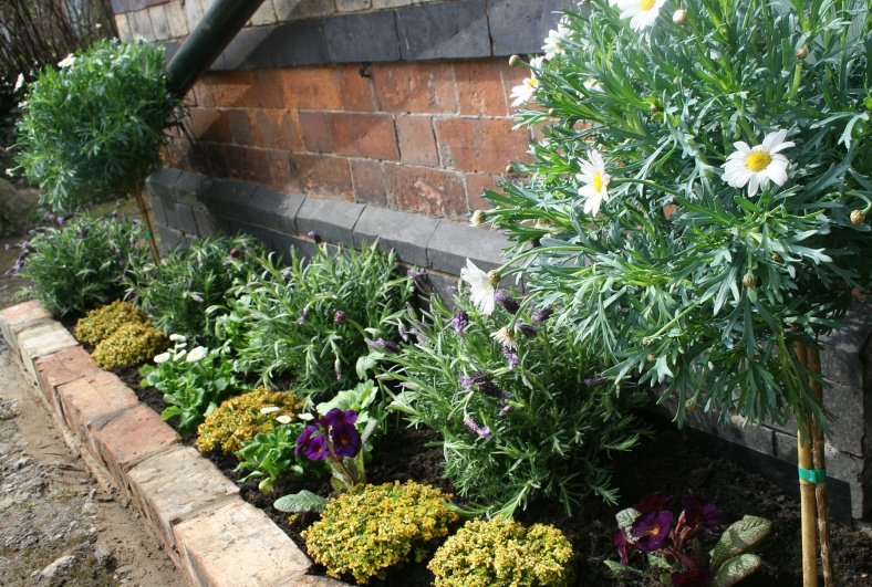 Raised bed with reclaimed brick wall, Marguerite trees, lavender and thyme