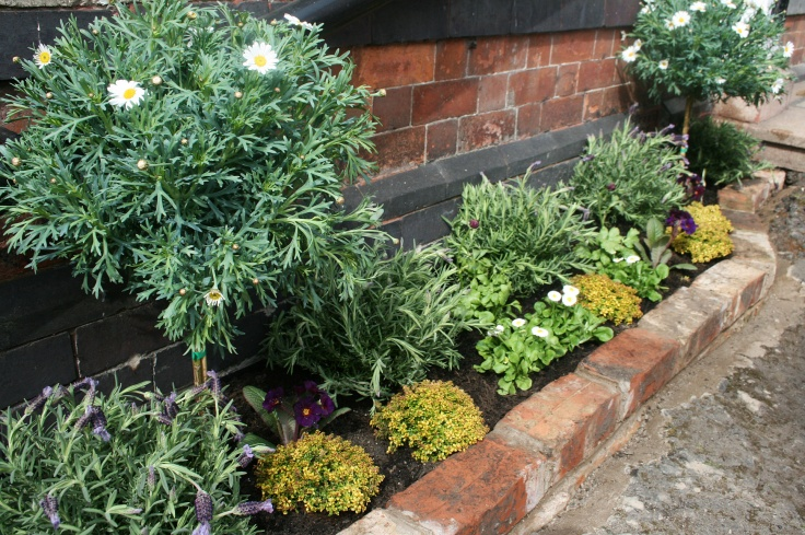 Raised bed with Marguerite trees, lavender and gold edge thyme