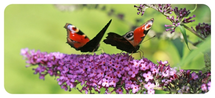 Peacock butterflies feeding on purple buddleia