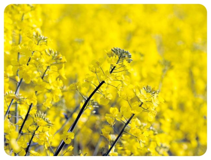 UK rapeseed field in flower