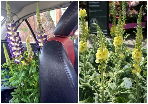 Bents Garden Centre Lupin