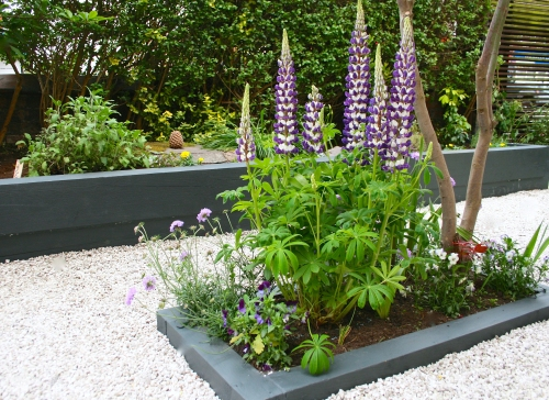 Large purple lupin in raised flower bed