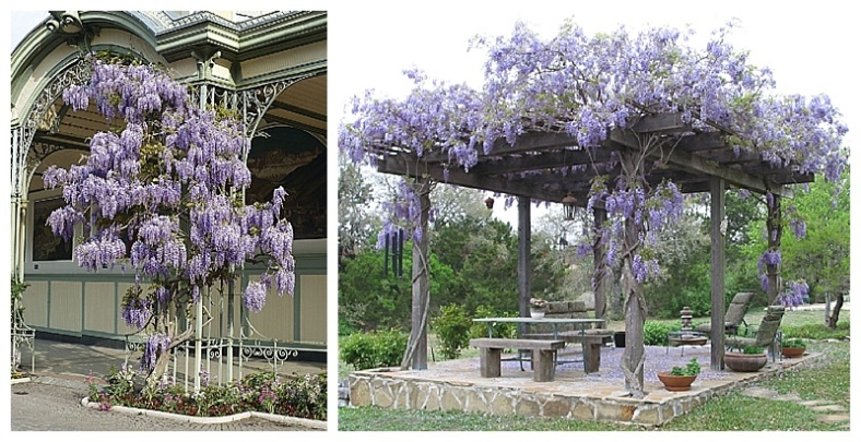 Wonderful Wisteria For A Bespoke Pergola