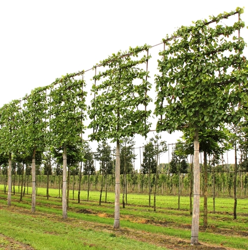 How To Elegant Practical Garden Screening Pleached Tree